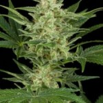 critical jack automatic cannabis seeds
