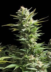 amnesia haze feminised cannabis seeds