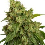 Dutch Passion AutoXtreme Autoflowering Feminized Marijuana