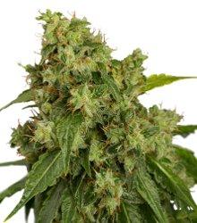 Dutch Passion AutoXtreme Autoflowering Feminized Marijuana