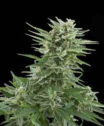 Royal Queen Easy Bud Auto-flowering Feminized Marijuana