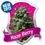haze berry feminised marijuana