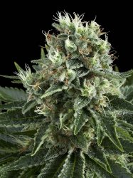 Royal Queen indoor mix feminized seeds