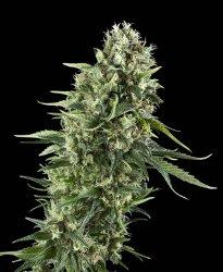 power flower royal queen feminized marijuana