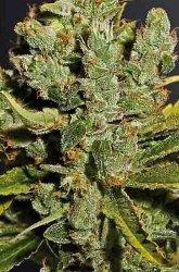 Royal Queen Royal Cheese Feminized Marijuana