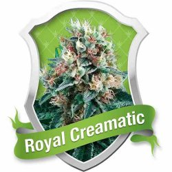 Royal Queen Seeds Royal Creamatic Automatic Feminized Marijuana