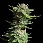 Royal Queen Shining Silver Haze Feminized Marijuana