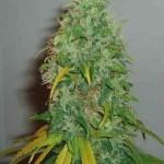 Royal Queen Skunk #1 Feminized Marijuana