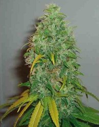 Royal Queen Skunk #1 Feminized Marijuana