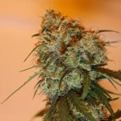 A.C.E. Seeds Golden Tiger Standard Marijuana Seeds