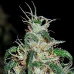 A.C.E. Seeds Green Haze Thai Standard Marijuana Seeds