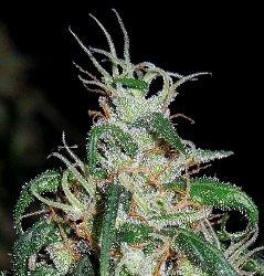 A.C.E. Seeds Green Haze Thai Standard Marijuana Seeds