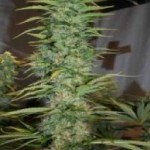 Ace Seeds Orient Express Standard Marijuana Seeds