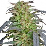 Barney's Farm Critical Kush Feminized Marijuana Seeds