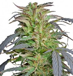Barney's Farm Critical Kush Feminized Marijuana Seeds