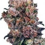 Dutch Passion Blueberry Feminized Marijuana Seeds