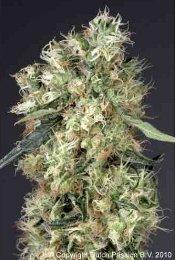 Dutch Passion Dutch Haze Feminized Marijuana Seeds