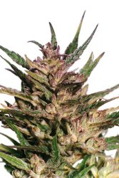 Dutch Passion Passion #1 Automatic Feminized Seeds