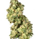 Dutch Passion Feminized Ultra Skunk Marijuana Seeds