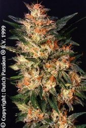 White Widow by Dutch Passion Feminized Marijuana Seeds