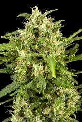 Dinafem Critical + Automatic Feminized Marijuana