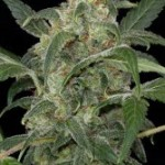 Haze 2.0 Dinafem Automatic Feminized Marijuana Seeds