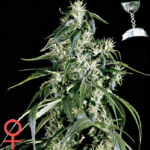 Green House Seed Company Arjan's Haze #1 Feminized Marijuana Seeds