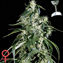 Green House Seed Company Arjan's Haze #1 Feminized Marijuana Seeds