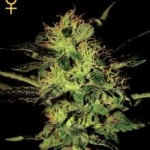 Greenhouse Seed Co Super Critical Feminized Marijuana Seeds