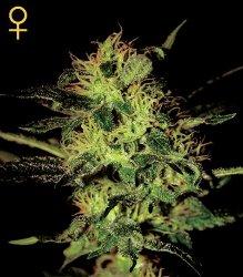Greenhouse Seed Co Super Critical Feminized Marijuana Seeds