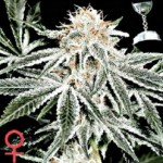 Greenhouse Seed Co White Widow Feminized Marijuana Seeds