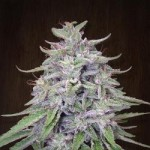 Ace Seeds Bangi Haze Standard Marijuana Seeds