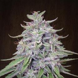 Ace Seeds Bangi Haze Standard Marijuana Seeds