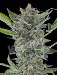 White Widow Automatic Feminized Dinafem Marijuana Seeds