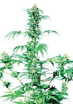 early girl best cannabis strains for outdoor growing in england