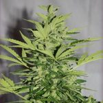 supreme cbd lemon og haze autoflowering medical marijuana