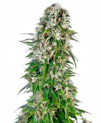 big bud automatic for outdors in Europe